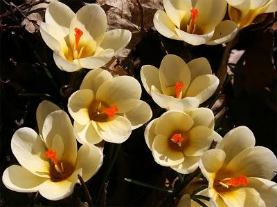 Крокус золотистоцветковый (Сrocus chrysanthus) «Cream Beauty»
