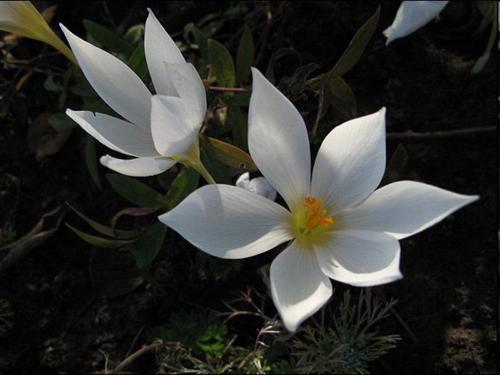 Крокус прекрасный (Crocus speciosus Bieb)