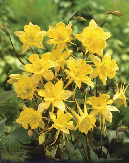 Водосбор золотоцветный (Aquleqia chrysantya)