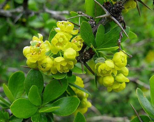 Барбарис обыкновенный (Berberis vulgaris)