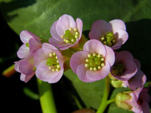 Бадан толстолистный, или лекарственный (Bergenia crassifolia (L.) Fritsch)