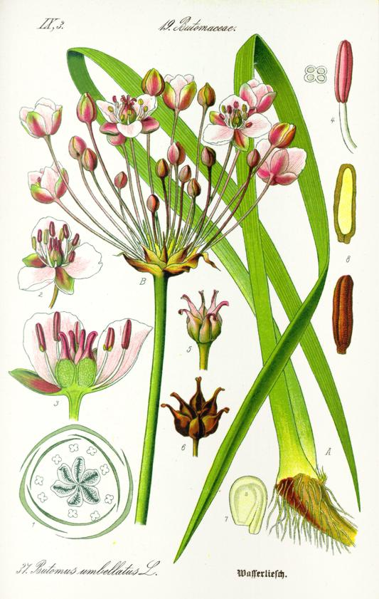 На рисунке сусак зонтичный (Butomus umbellatus)