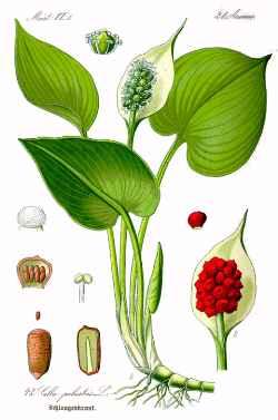 На рисунке белокрыльник болотный (Calla palustris)
