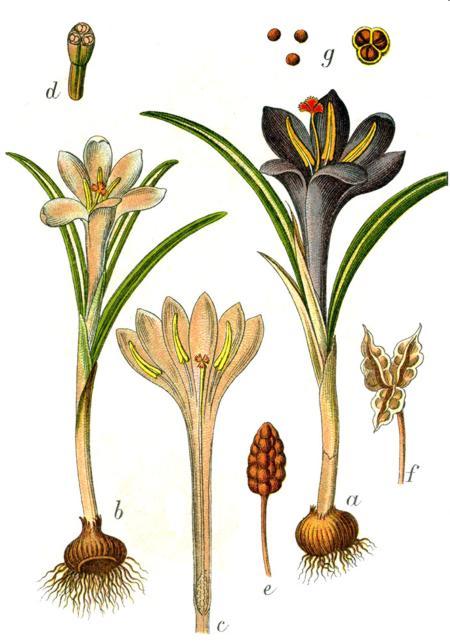 На рисунке крокус весенний (Crocus vernus)