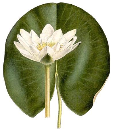 Кувшинка чисто-белая (Nymphaea сandida)