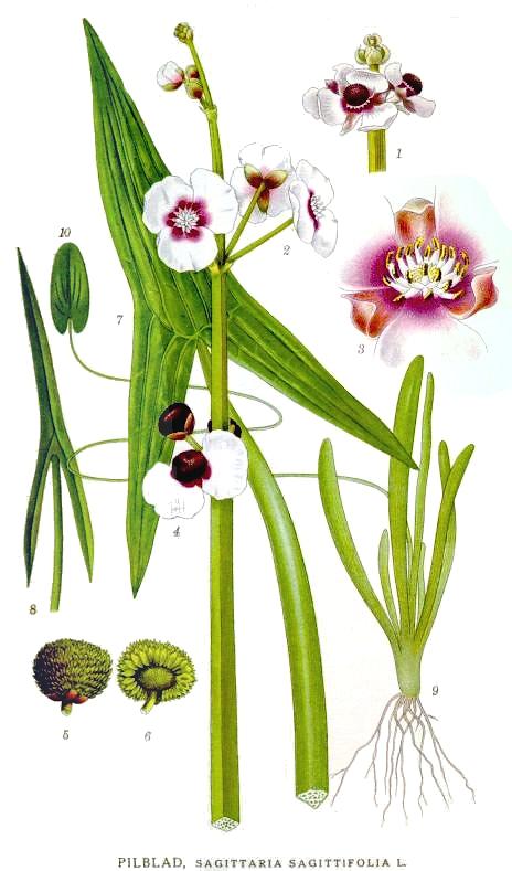 На рисунке стрелолист обыкновенный (Sagittaria sagittifolia)